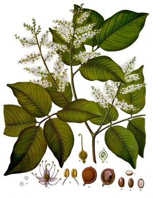 Copaifera Officinalis