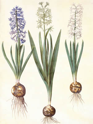Hyacinthus nonscriptus